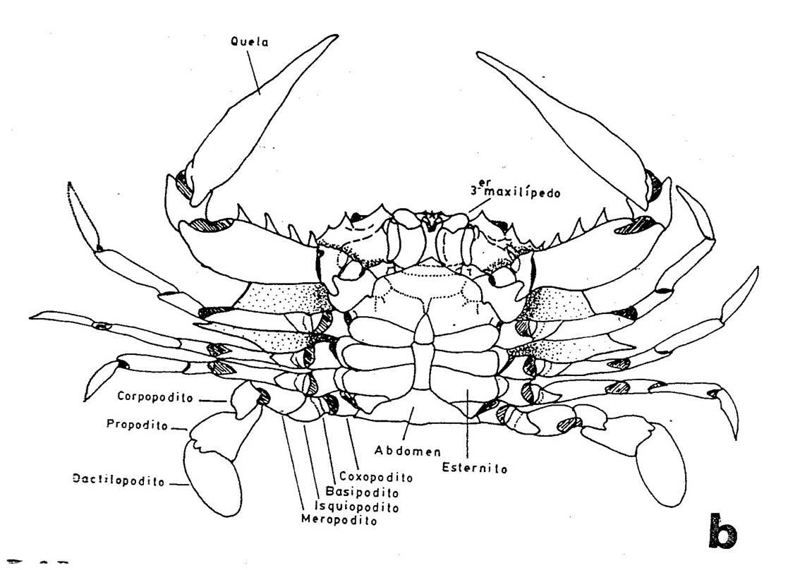Morfología externa básica en cangrejos