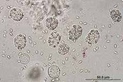 microspo.palaemonetes